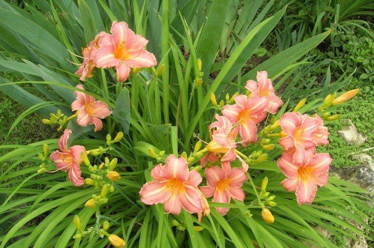 Лилейники - Многолетние цветы для дачи