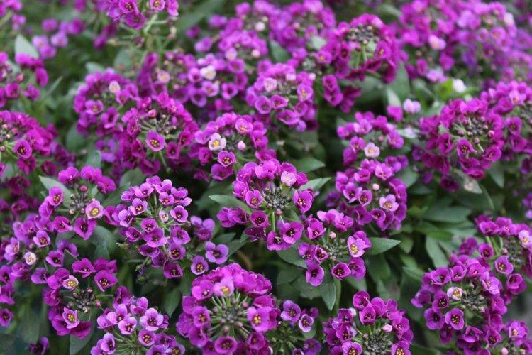 Алиссум - Многолетние цветы для дачи