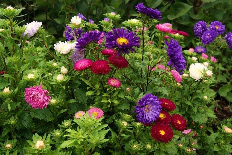mnogoletnie-cvety-dlya-dachi-foto-612-25791.jpg