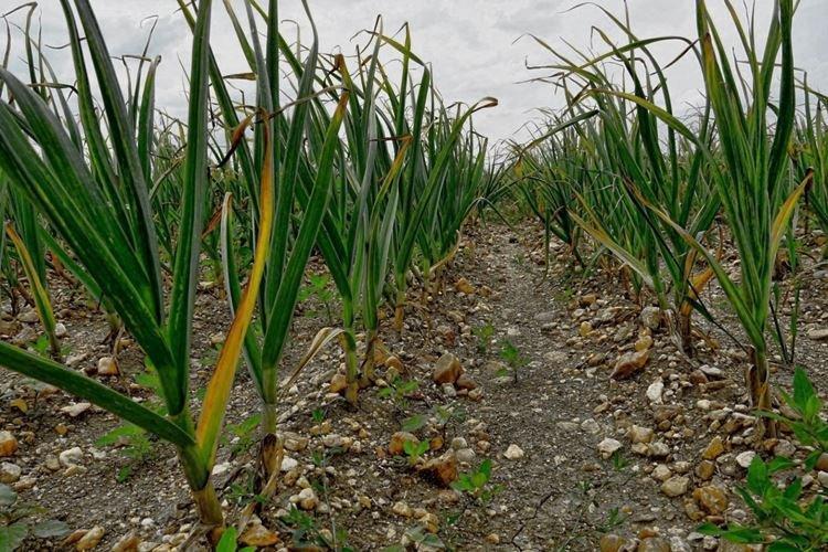 Листья чеснока растут желтыми - Что делать