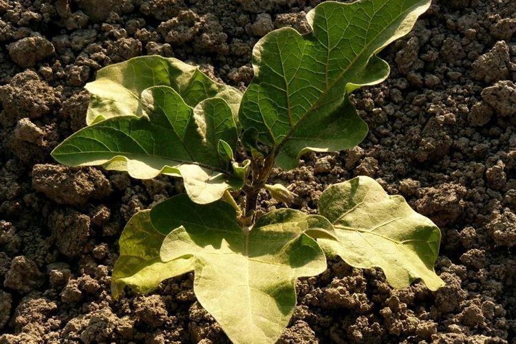 Желтеют нижние листья у баклажанов