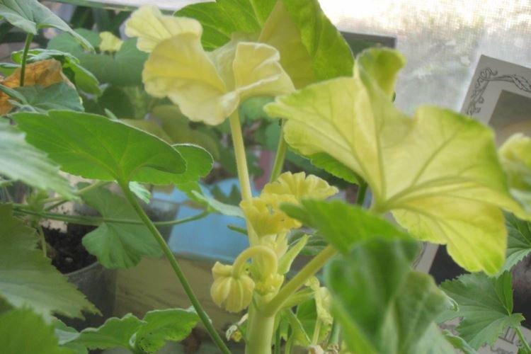 Полив - Почему желтеют листья у герани что делать