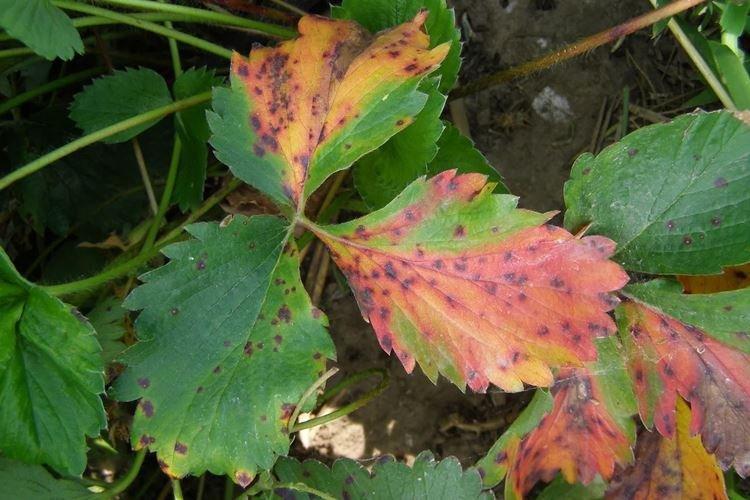 Желтые пятна на листьях клубники