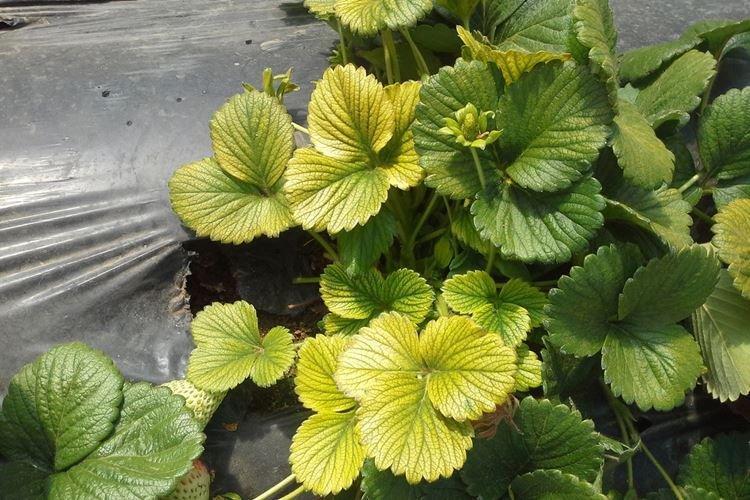 Листья клубники желтеют в теплице