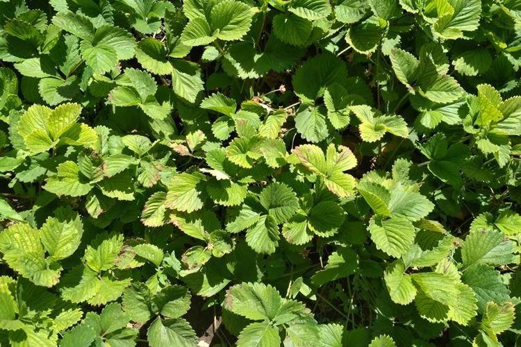 Листья клубники скручиваются и сохнут