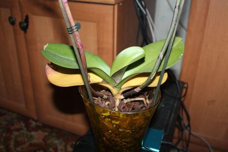 Что делать чтобы листья орхидеи не желтели
