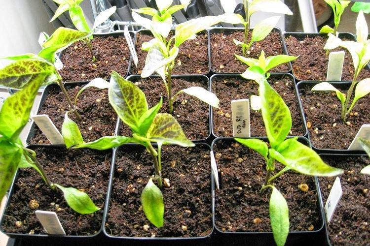 Основные причины - Почему желтеют и сохнут листья у перца