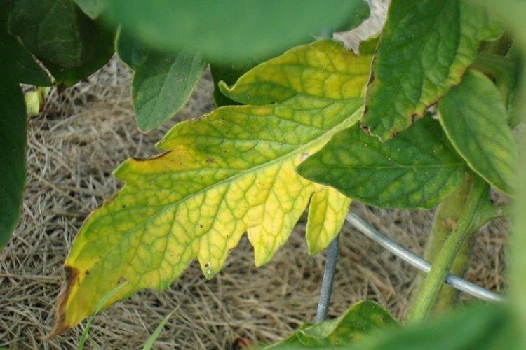 Почему желтеют нижние листья у помидоров