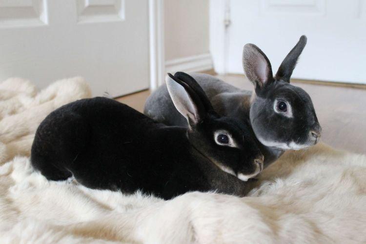 Рекс - Меховые породы кроликов