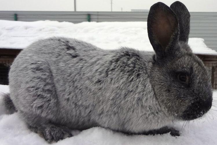 Вуалево-серебристый - Меховые породы кроликов