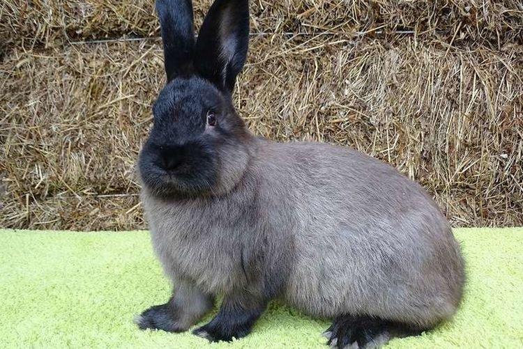 Советский мардер - Меховые породы кроликов
