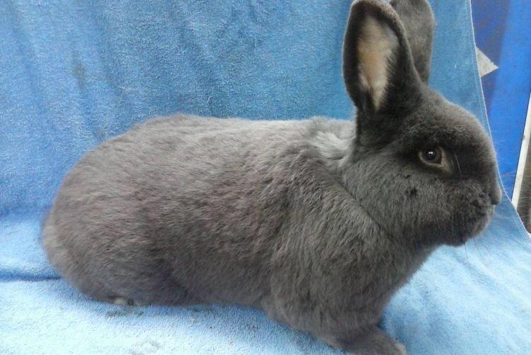 Венский голубой - Меховые породы кроликов