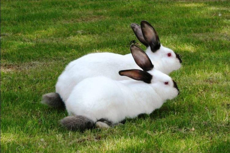 Горностаевый - Меховые породы кроликов