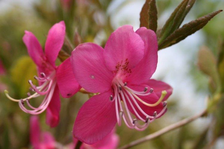 Рододендрон Альбрехта - Виды рододендрона