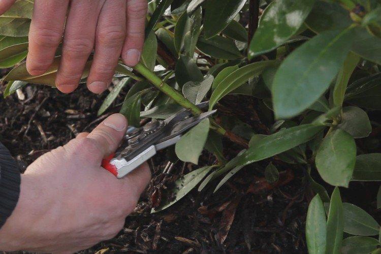 Обрезка - Уход за рододендроном