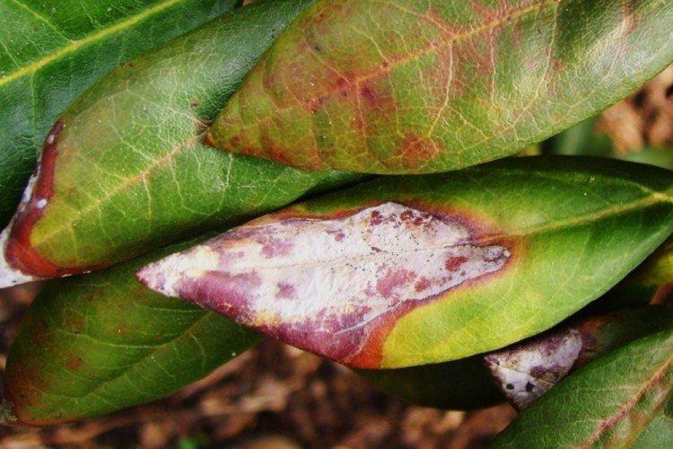 Борьба с вредителями и болезнями - Рододендрон