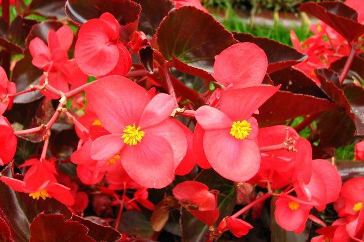 Бегония - Садовые цветы, которые цветут все лето