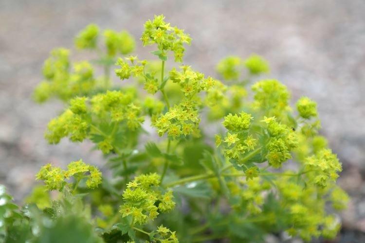 Манжетка - Садовые цветы, которые цветут все лето