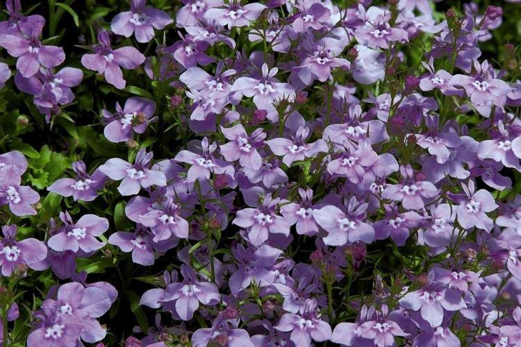 Лобелия - Садовые цветы, которые цветут все лето