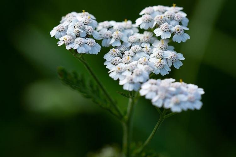 Тысячелистник - Садовые цветы, которые цветут все лето