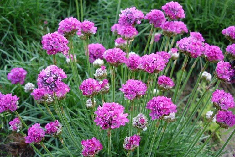 Армерия приморская - Садовые цветы, которые цветут все лето