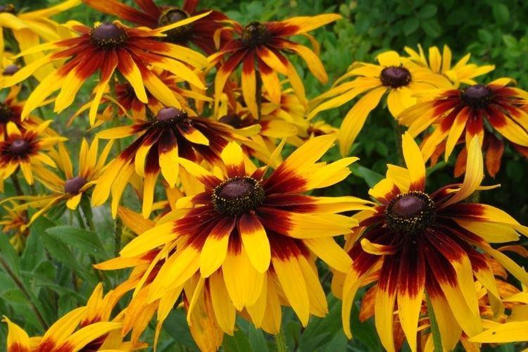 Рудбекия - Садовые цветы, которые цветут все лето