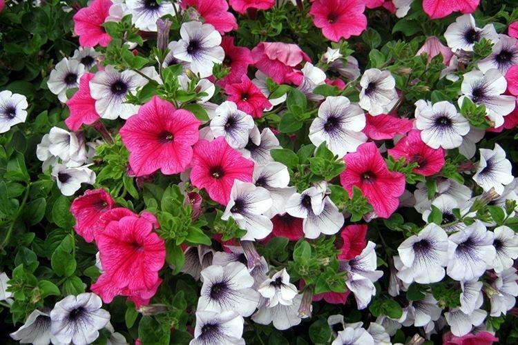 sadovye-cvety-kotorye-cvetut-vse-leto-foto-653-27176.jpg