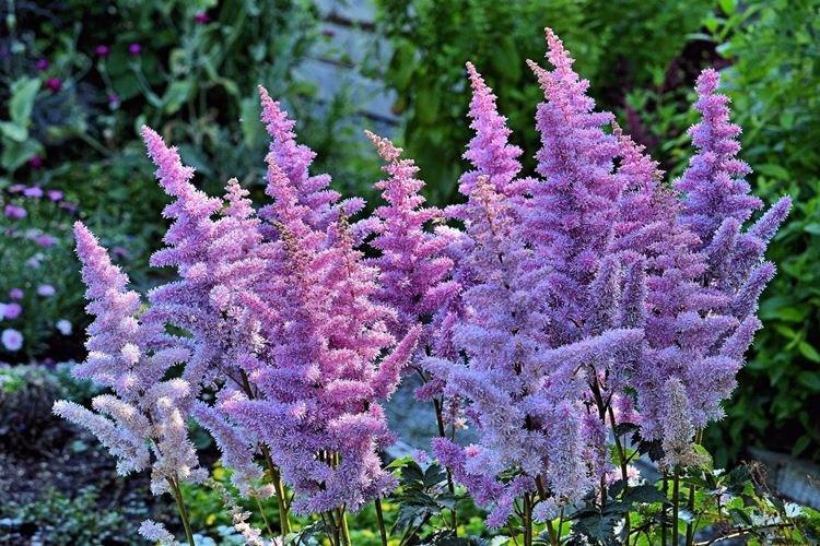 Астильба - Садовые цветы, которые цветут все лето