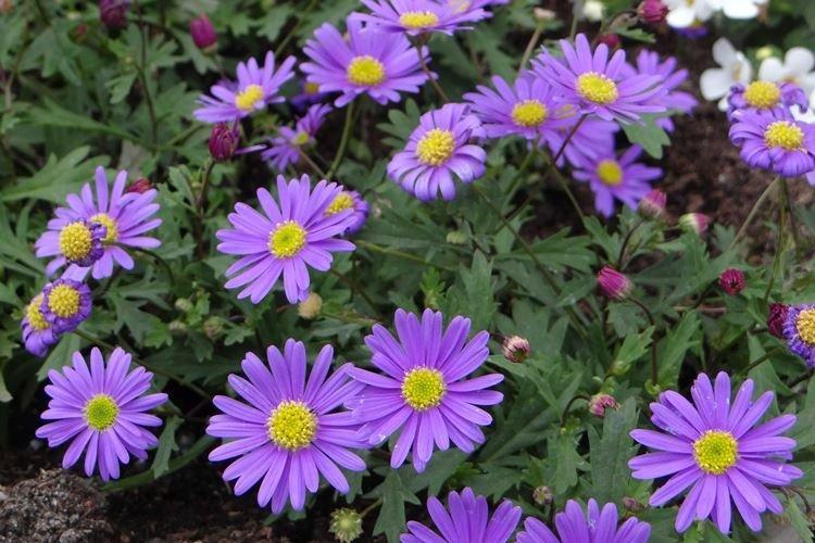 sadovye-cvety-kotorye-cvetut-vse-leto-foto-653-27182.jpg