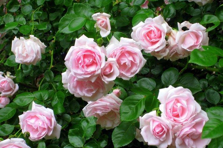 Роза - Садовые цветы, которые цветут все лето