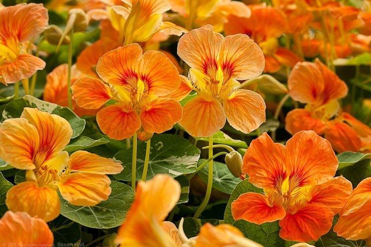 Настурция - Садовые цветы, которые цветут все лето