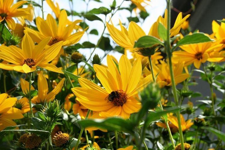 Гелиопсис - Садовые цветы, которые цветут все лето