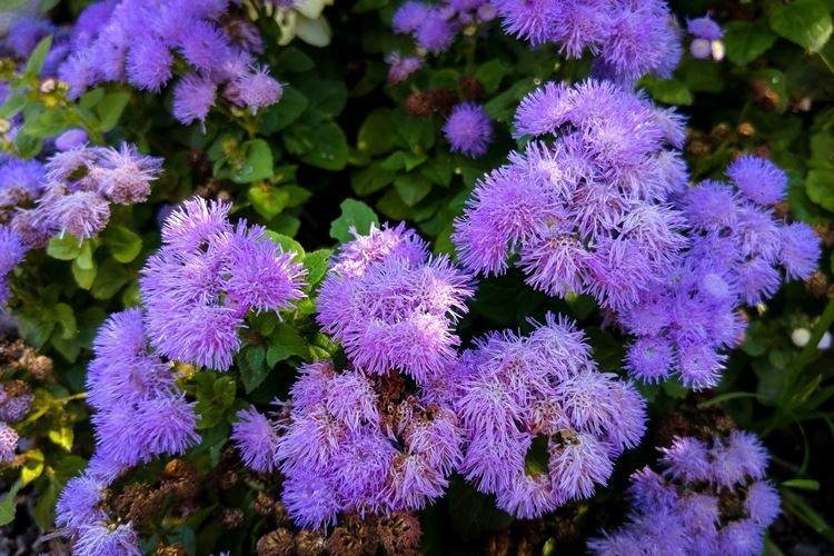 Агератум - Садовые цветы, которые цветут все лето