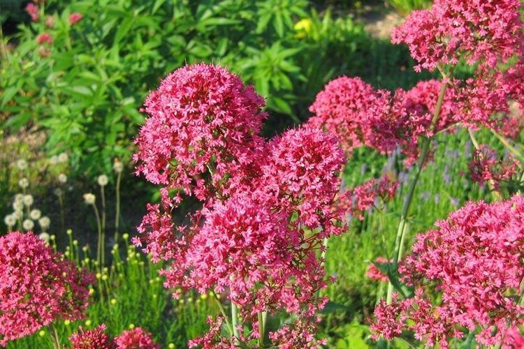 sadovye-cvety-kotorye-cvetut-vse-leto-foto-653-27200.jpg
