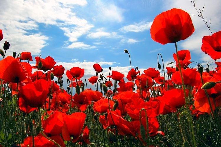 Мак - Садовые цветы, которые цветут все лето