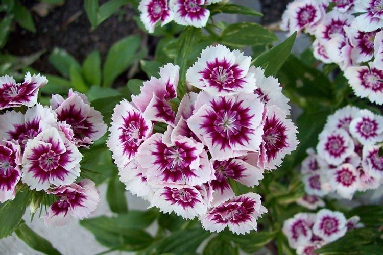 Многолетняя гвоздика - Садовые цветы, которые цветут все лето