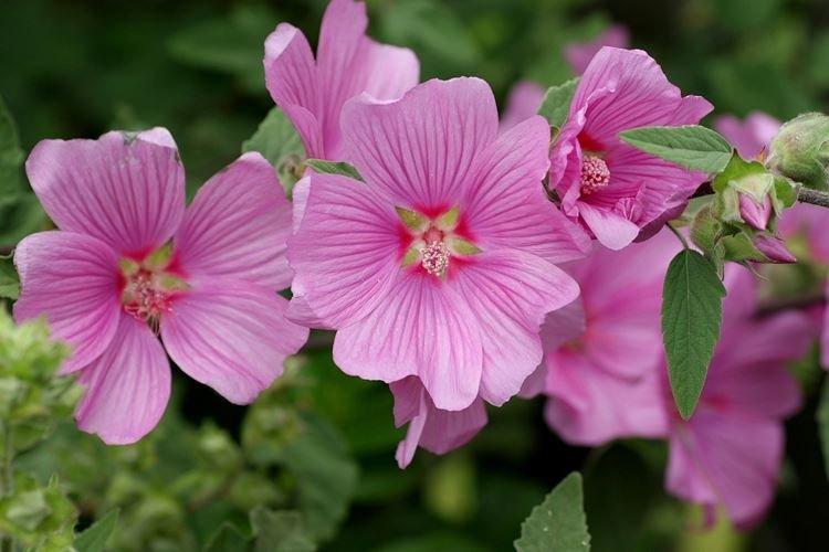 sadovye-cvety-kotorye-cvetut-vse-leto-foto-653-27212.jpg