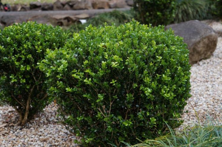 Самшит вечнозеленый - Виды самшита