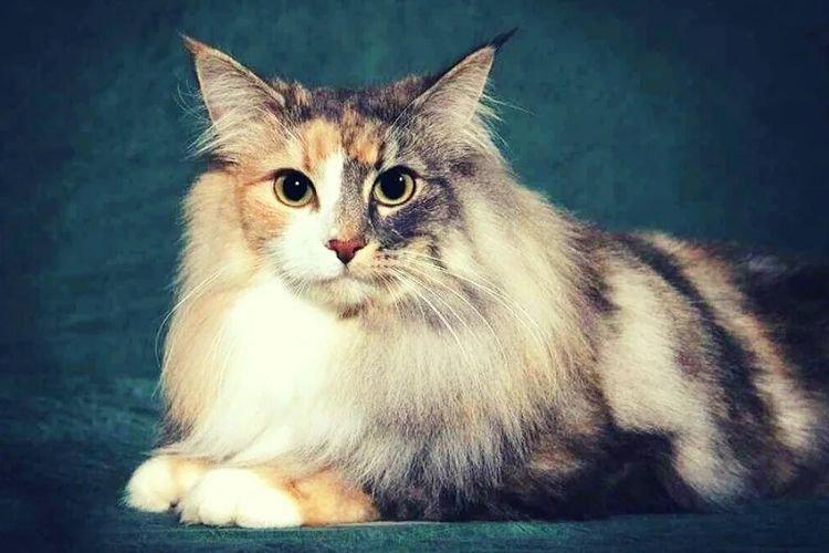 Норвежская лесная - Самые красивые породы кошек