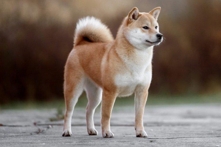 Акита-ину - Самые красивые породы собак