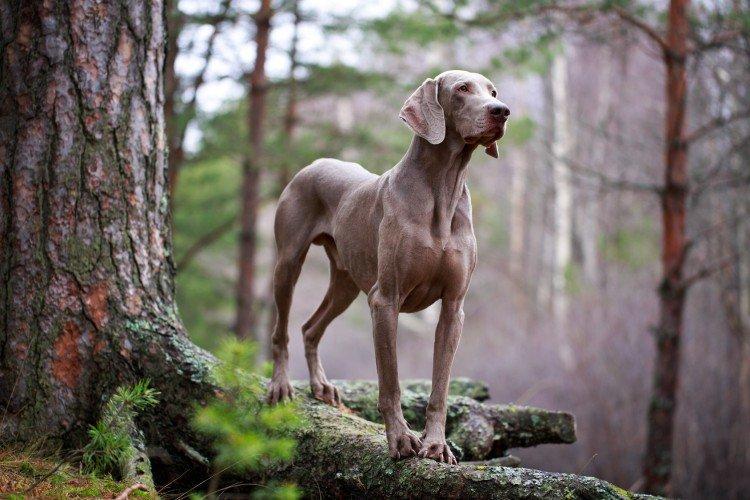 Веймаранер - Самые красивые породы собак