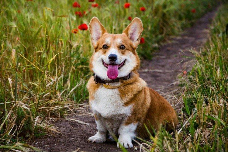 Вельш-корги - Самые красивые породы собак