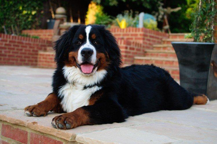 Бернский зенненхунд - Самые красивые породы собак