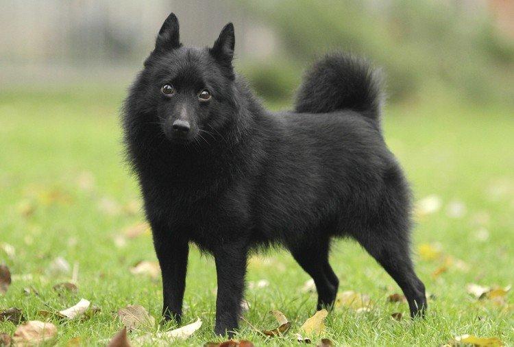 Шипперке - Самые красивые породы собак