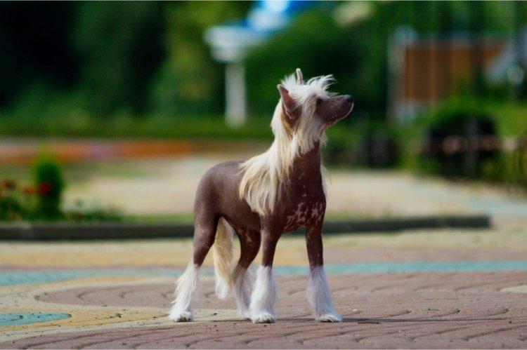 Китайская хохлатая собака - Самые маленькие собаки в мире