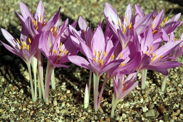 Безвременник - Самые неприхотливые цветы для дачи