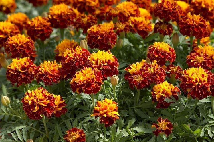 Бархатцы - Самые неприхотливые цветы для дачи