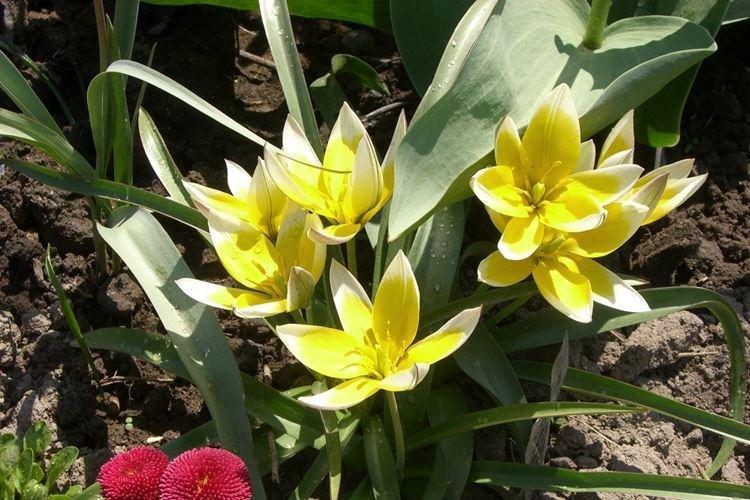 Ботанический тюльпан - Самые неприхотливые цветы для дачи