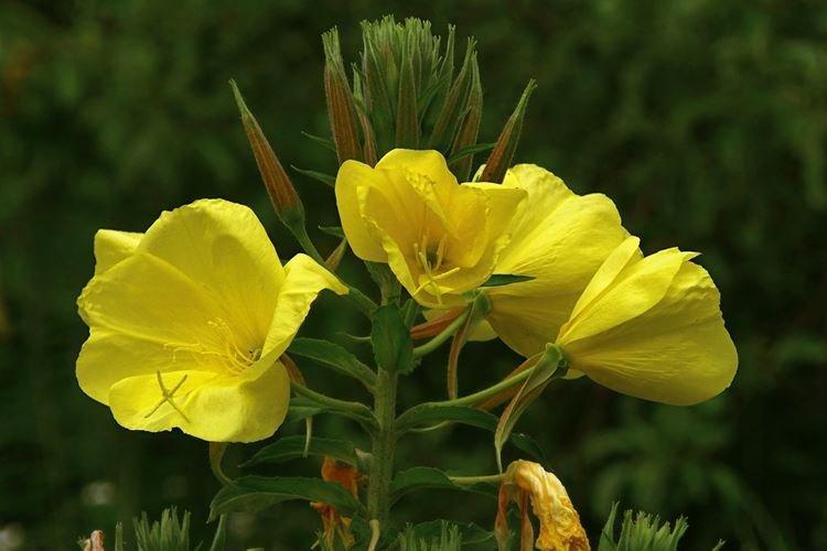Энотера - Самые неприхотливые цветы для дачи