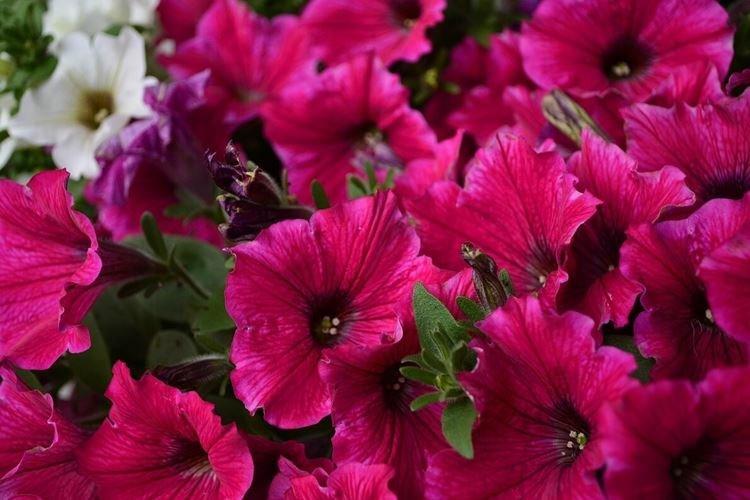 Петуния - Самые неприхотливые цветы для дачи